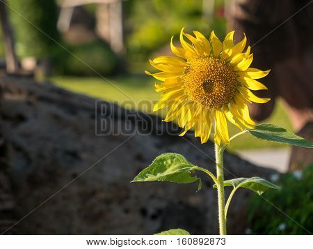 One sunflower on a garden with coy space