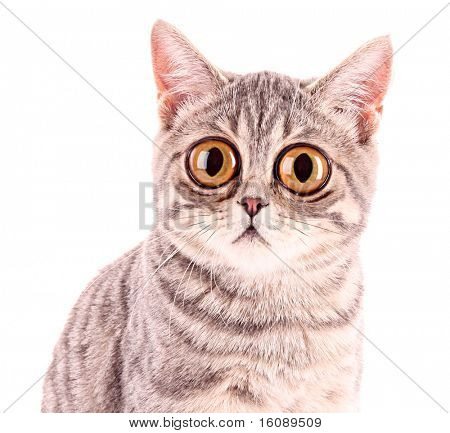 Young funny surprised cat closeup isolated on white poster