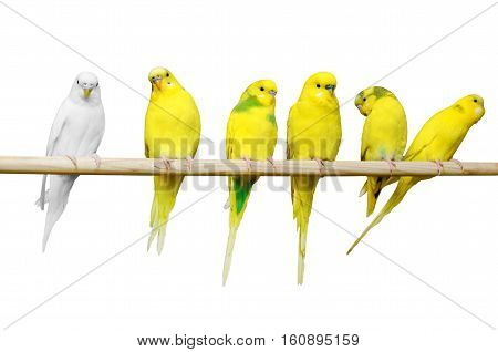 Six parrots sit on a wooden stick isolated on white background