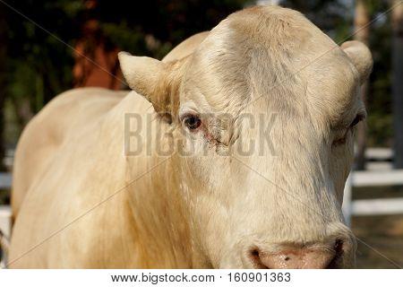 Cattle Breeder In Farm