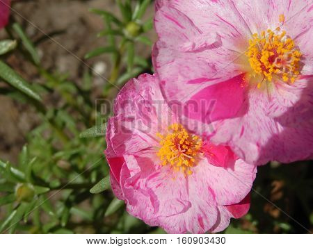 Beautiful fresh pink sundial flowers in garden nature background card with room for copy