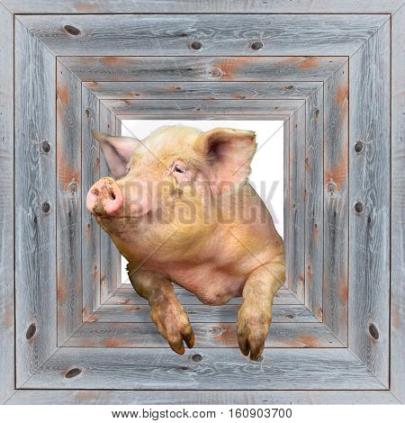 pig looks out from wooden frame isolated
