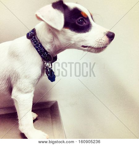 Cute Puppy dog visiting vet focus on head with adorable white and black floppy ears a young Parson Jack Russell Terrier Puppy at vet for the first check up and shots wearing collar and dog license with room for copy space or message