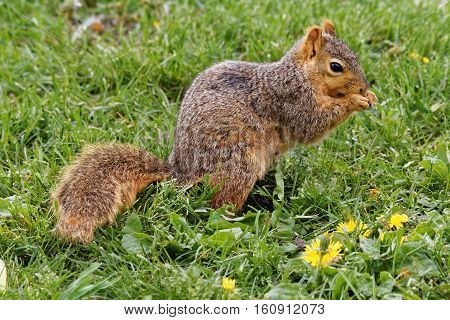 A Fox Squirrel poses in the grass. These rambunctious squirrels can be found throughout Iowa climbing trees and raiding bird feeders.