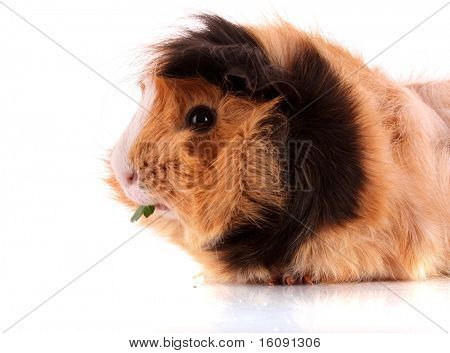 funny brown hamster on white background