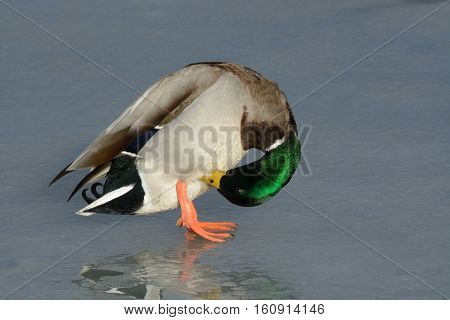 Mallard Duck Drake preening feathers on frozen winter lake