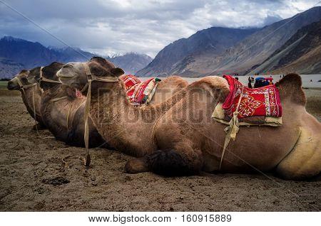 Bactrian camel in Hunder Sand Dunes of Nubra Valley Leh Ladakh Jammu and Kashmir India