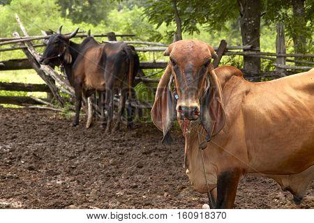 Thai cow in Fram feedlot, female, food, head, indian,