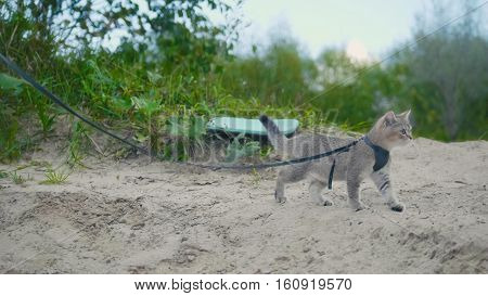 British Shorthair Tabby cat in collar walking on sand outdoor, camping
