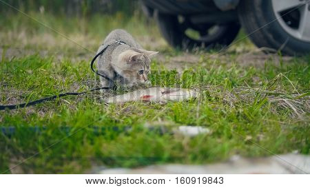 British shorthair cat walking near spear fishing - plays with Freshwater Fish at grass in camping, outdoor