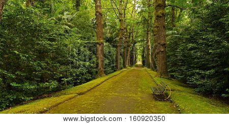 Gingko trees alley in Terra Nostra park in Furnas Azores Portugal. Beautiful pathway with a bench in the park.