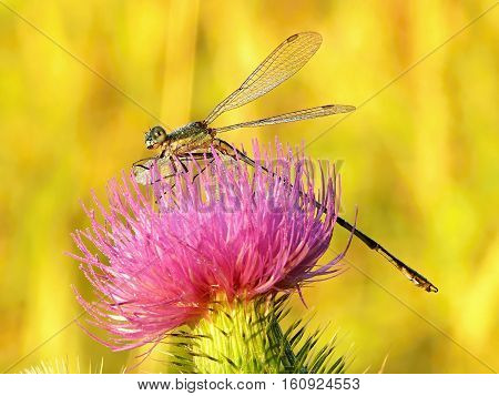 Dragonfly on pink flowers and golden light