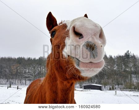 Horse head of brown white. Meadow in winter