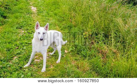 Green path in a rural landscape with a friendly White Swiss Shepherd or Berger Blanc Suisse looking to the photographer on a sunny day in the spring season.