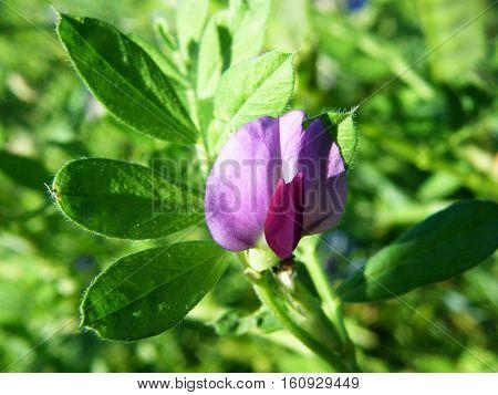 Common Vetch - Vicia Sativa
