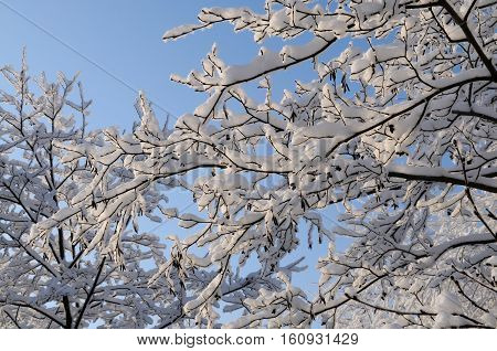 Alder branches covered with snow on a sunny frosty day, Tver region, Russia