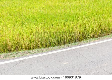 Organic rice paddy in field farm beside with rural pathway.