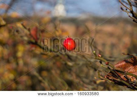 Closeup of a rose hip on a sunny Day. Rose Hips