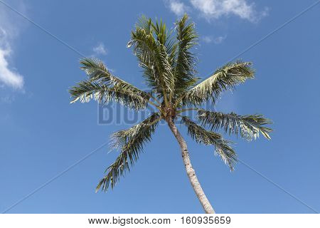 Crones of coconut palms against the blue sky with white clouds