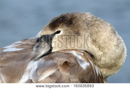 Young Swan or Cygnet resting head on wing.