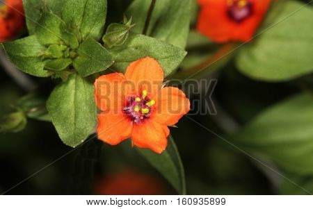 Scarlet pimpernel (Anagallis arvensis; also known as red pimpernel, red chickweed, poorman's barometer, poor man's weather-glass,[1] shepherd's weather glass or shepherd's clock) is a low-growing annual plant. The native range of the species is Europe and