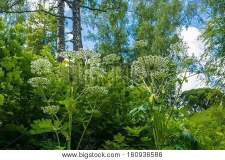 Dense green thickets of Hogweed on Sunny summer day.