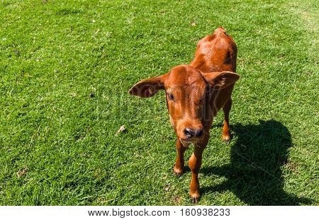 Cattle newborn calf beef stock farming animal in safety pen closeup