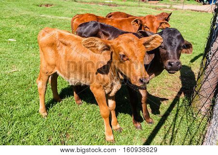 Cattle animal calves new born beef stock farming in safety pen closeup