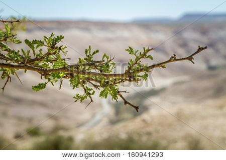 Branch of Acacia tree on a blurred background in Makhtesh Ramon in Negev Desert, Israel