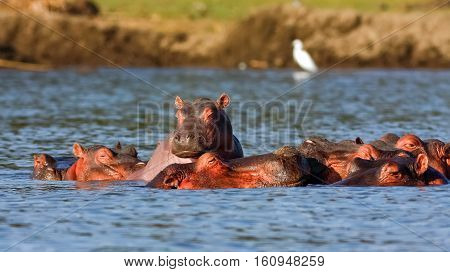 Naivasha hippos and Heron. Alpha male. Kenya, Africa