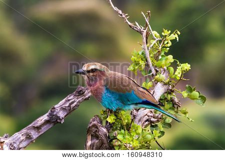 A blue bird on a tree stump. Tarangire, Tanzanya