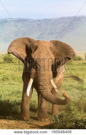 Old Elephant. Very angry. NgoroNgoro. Tanzania, Africa.