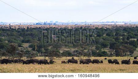 Panorama of savanna. Big herds of Africa. Landscape with buffalo. Nakuru, Kenya.