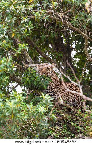 Leopard waiting prey. Ambush. On branch. Masai Mara, Kenya