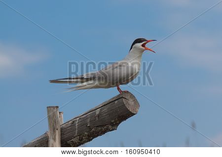A beautiful gull sitting on a wooden log, Kiji