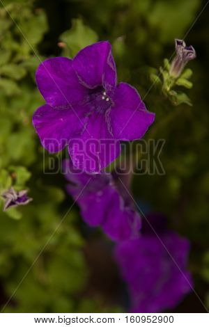 Bluebell flowers in spring forest, closeup, soft focus