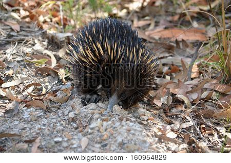 Australian echidna, the spiny anteater, Tachyglossus aculeatus, digging for ants in dirt with its large claws and long snout. Royal National Park, Sydney, Australia