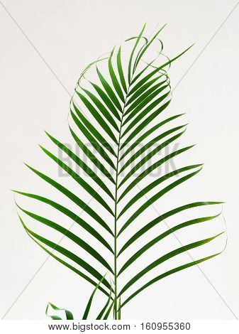Decorative leaf the papyrus plant. Close up. Natural background.