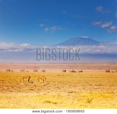 Portrait of two lions, male and female standing at African savannah during Great migration, Amboseli National Park