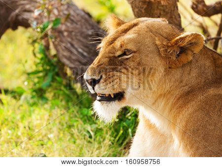 Close-up portrait of beautiful African lioness on the nature background