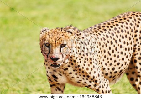 Close-up portrait of African cheetah with bloody face, Masai Mara National Reserve