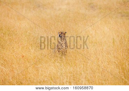 Portrait of African cheetah sitting in the distance in high dried grass, Masai Mara National Reserve, Kenya