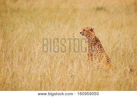 Side view portrait of African cheetah sitting in long dried grass, Masai Mara National Reserve, Kenya