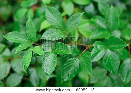 bush branch bright natural background wet leaves contrasting