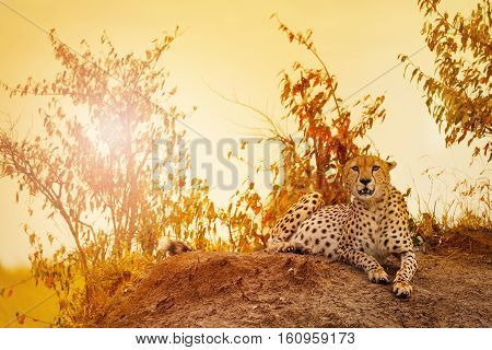 Portrait of female cheetah laying on the hill at sunset, Masai Mara National Reserve