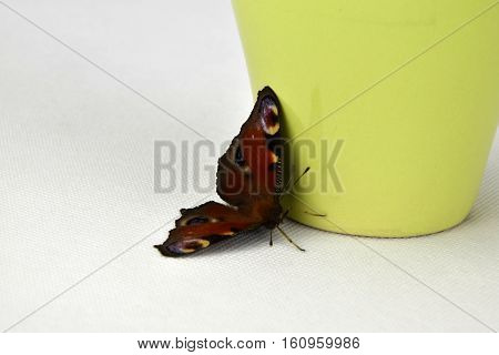 Butterfly Inachis io on light-green cup. Butterfly.