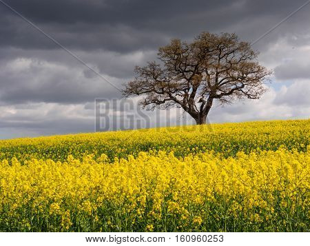 Lone tree and rape seed field at Melbourne in April.
