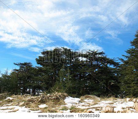 Cedar tree forest in Lebanon against a blue sky.