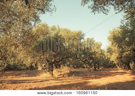 Olive Trees In Morning Sunlight, Greece