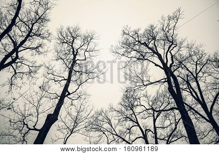 Leafless Bare Trees Over Gray Sky. Monochrome